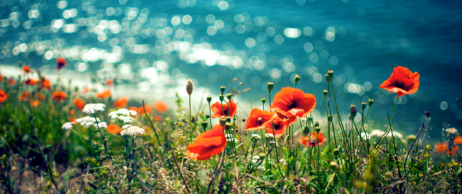 cropped-poppys-by-the-sea.png